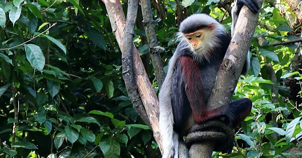 endangered white cheek gibbon saved by carbon balanced paper and print